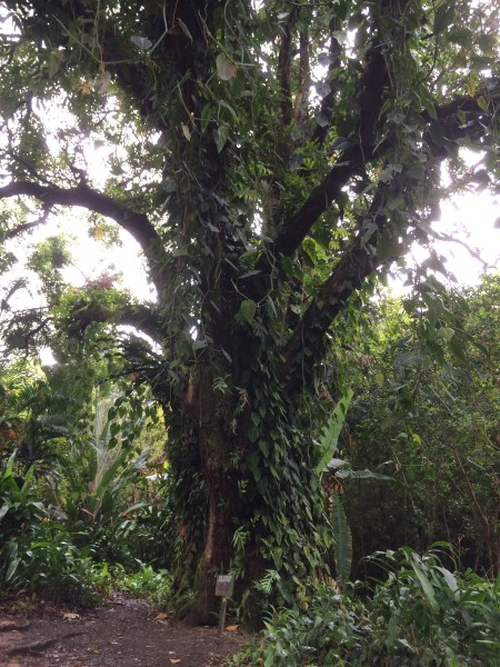 樹齢100年のマンゴーツリー1