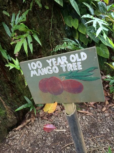 樹齢100年のマンゴーツリー2