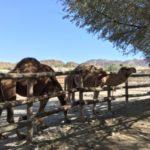 冬のパームスプリングスはどう?旅行記Vol.5 – FARMで朝食とThe Living Desert(動物園)